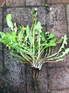 dandelion taproot